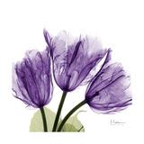 Tulips L63