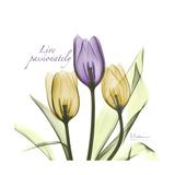 Passionately Tulip