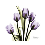 Purple Tulip Square