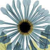 Chrysanthemum H68