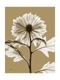Tonal Chrysanthemum