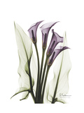 Purple Calla Lily Portrait