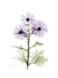 Chrysanthemum Trio