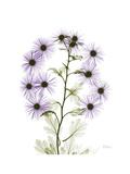 Chrysanthemum Family