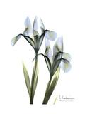 Blue Iris Portrait