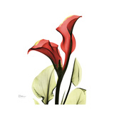 New Red Calla Lily