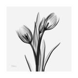 Tulip Greys 2