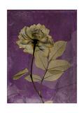 Purple Opus Rose