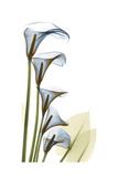 Cascading Calla Lilies