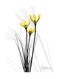 Canary Lily Portrait