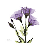Purple Gentian Square