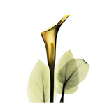 Golden Calla Lily 1