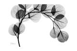 Eucalyptus Gray