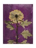 Purple Opus Chrysanthemum