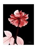 Tonal Rose on Black 2