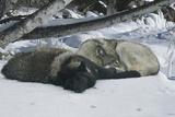 Zoo Wolf 02