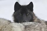 Zoo Wolf 08