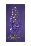 Purple Foxgloves 2
