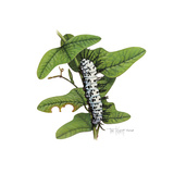 Zebra Caterpillar
