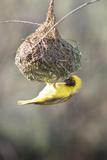 Swakopmund  Namibia African-Masked Weaver Building a Nest