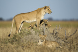 Botswana  Chobe NP  Lioness and Young Cubs Standing on Termite Mound