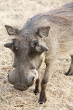 Namibia  Windhoek  Okapuka Ranch Close-up of Warthog