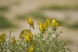 Kenya  Amboseli National Park  Yellow Canary or Weaver