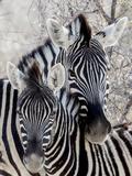 Namibia, Etosha National Park. Portrait of Two Zebras Papier Photo par Wendy Kaveney
