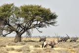 Namibia, Etosha National Park. Five Oryx and Tree Papier Photo par Wendy Kaveney