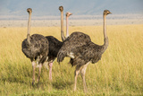 Kenya  Maasai Mara  Mara Triangle  Female Masai Ostrich