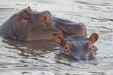 Hippos Swim Beside Each Other  Ngorongoro Conservation Area  Tanzania