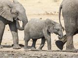 Namibia  Etosha NP Baby Elephant Walking Between Two Adults