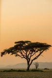 East Kenya  Amboseli NP  Sunset  Acacia Tree with Weaver Nests