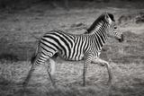 Shinde Camp  Okavango Delta  Botswana  Africa Young Plains Zebra