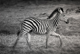 Shinde Camp, Okavango Delta, Botswana, Africa. Young Plains Zebra Papier Photo par Janet Muir