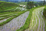 Water-Filled Rice Terraces  Bali Island  Indonesia
