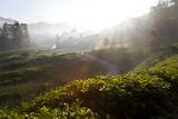 Tea Plantations and Road  Munnar  Western Ghats  Kerala  South India