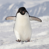 Cape Washington  Antarctica Adelie Penguin Walks Forward