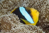 Orange-Finned Anemone Fish Close to Host Anemone for Protection  Fiji