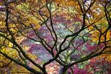 Autumn Leaves  Westonbirt Arboretum  Gloucestershire  England  UK