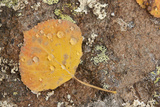 USA  Colorado  Gunnison NF Aspen Leaf and Lichen on Rock