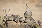 USA  Arizona  Amado Female Gambel's Quail with Chicks
