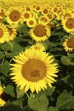 Europe  Italy  Tuscan Sunflowers