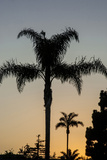 California  Carpinteria  Palm Tree Silhouettes at Sunset