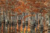 USA  Georgia  Autumn  Cypress Trees at George Smith State Park