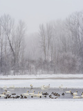 Geese  Swans and Ducks at Pond Near Jackson  Wyoming