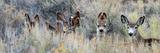 Ears Mule Deer Does Hide in Tall Sage Brush in the High Desert