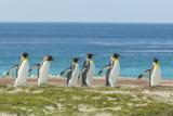 Falkland Islands  East Falkland King Penguins Walking