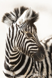 Etosha NP  Namibia  Africa Close-up of a Young Mountain Zebra