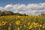 Minnesota  West Saint Paul  Field of Daisy Wildflowers and Clouds